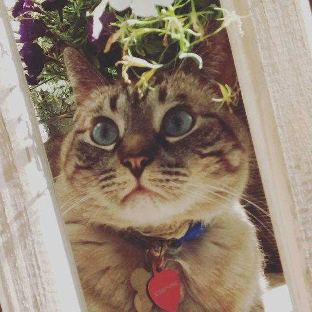Happy Caturday! happycaturday caturday catsofig catsofinstagram siamesekitty